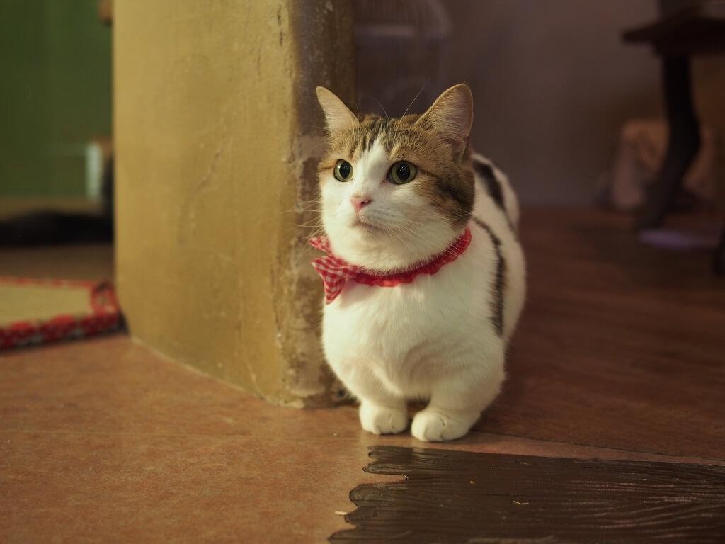 マンチカンの起源ですが、1983年とあるトラックの下で発見された短足の野良猫になります。