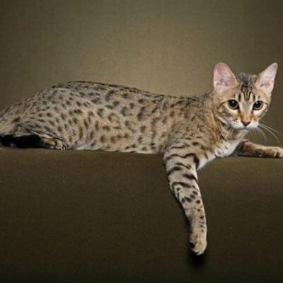 ベンガル猫の性格、飼い方、値段、価格相場☆ヒョウのようなワイルドな見た目♪