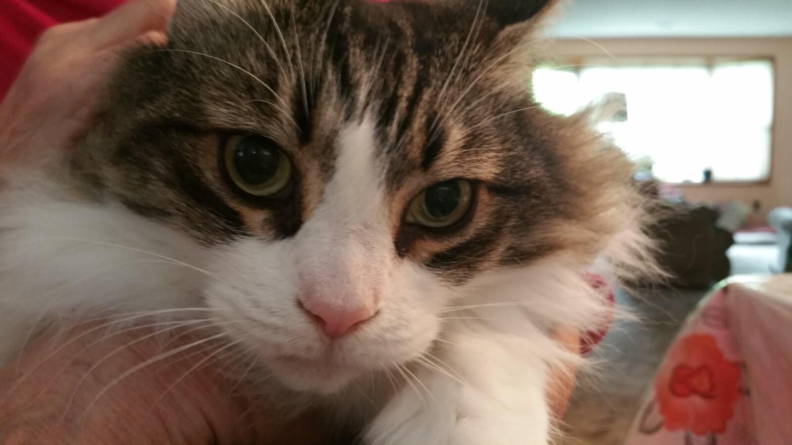 メインクーンの性格、飼い方、価格相場☆猫界最大級の大きさは
