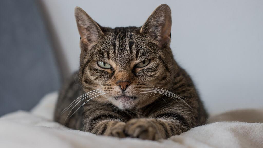 睨むキジトラ猫