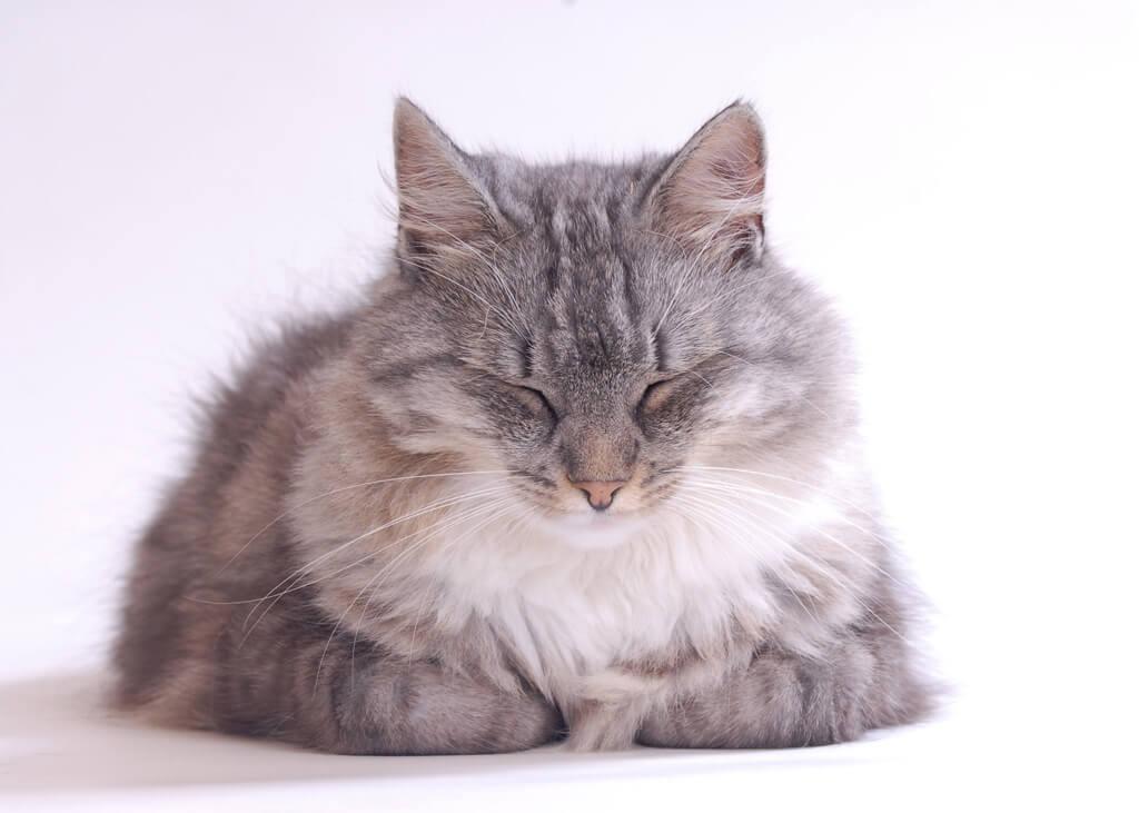 寝ている長毛種