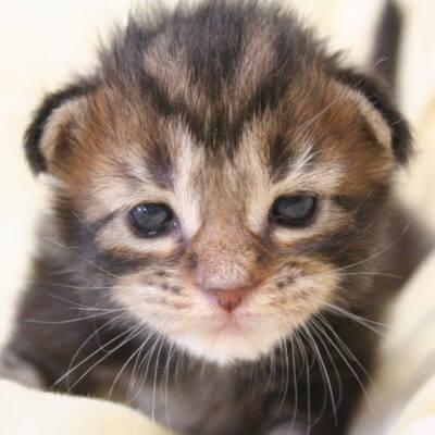 生後2週間の猫