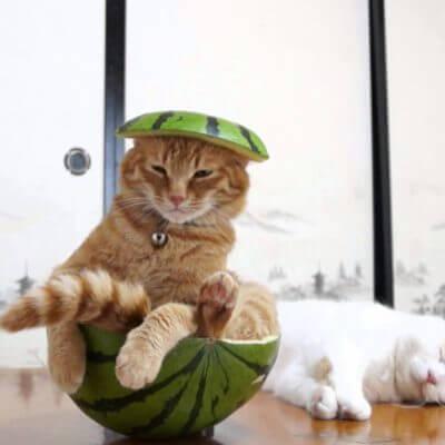 スイカに入る猫