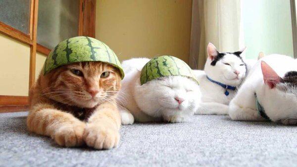スイカを被る猫