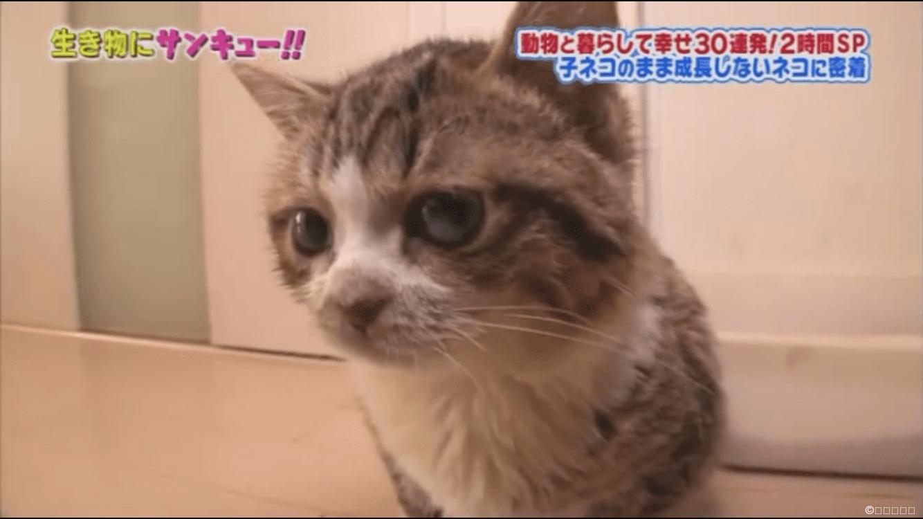 いつまでも大きくならない猫は病気の可能性あ …