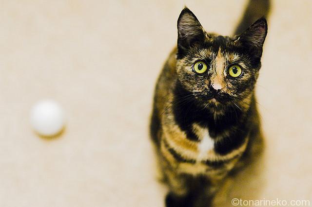 サビ猫とボール