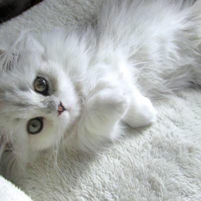 ミヌエット(ナポレオン)の性格、飼い方、価格相場☆短足が可愛い猫の良いとこ取り♡