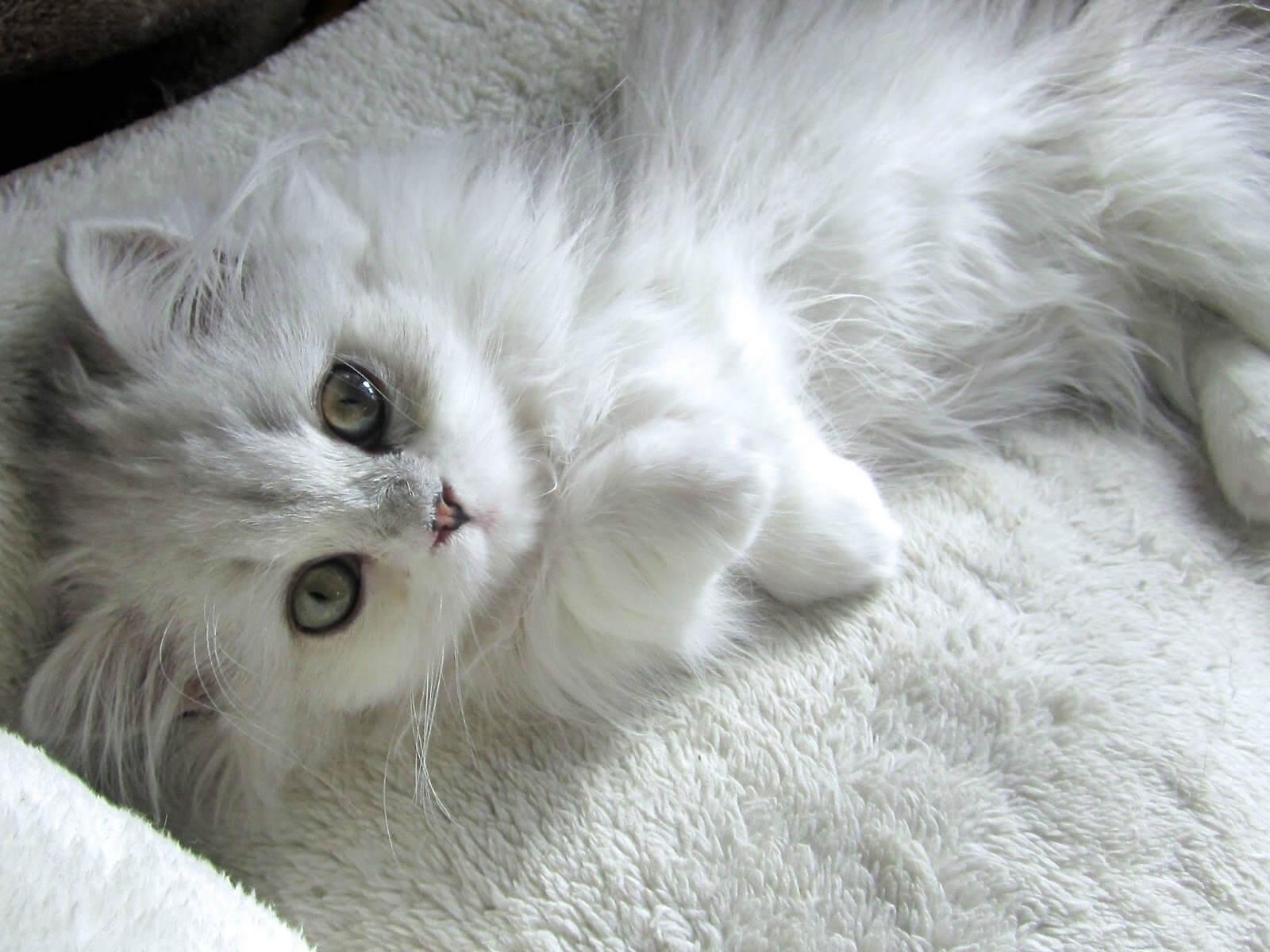 ミヌエット猫