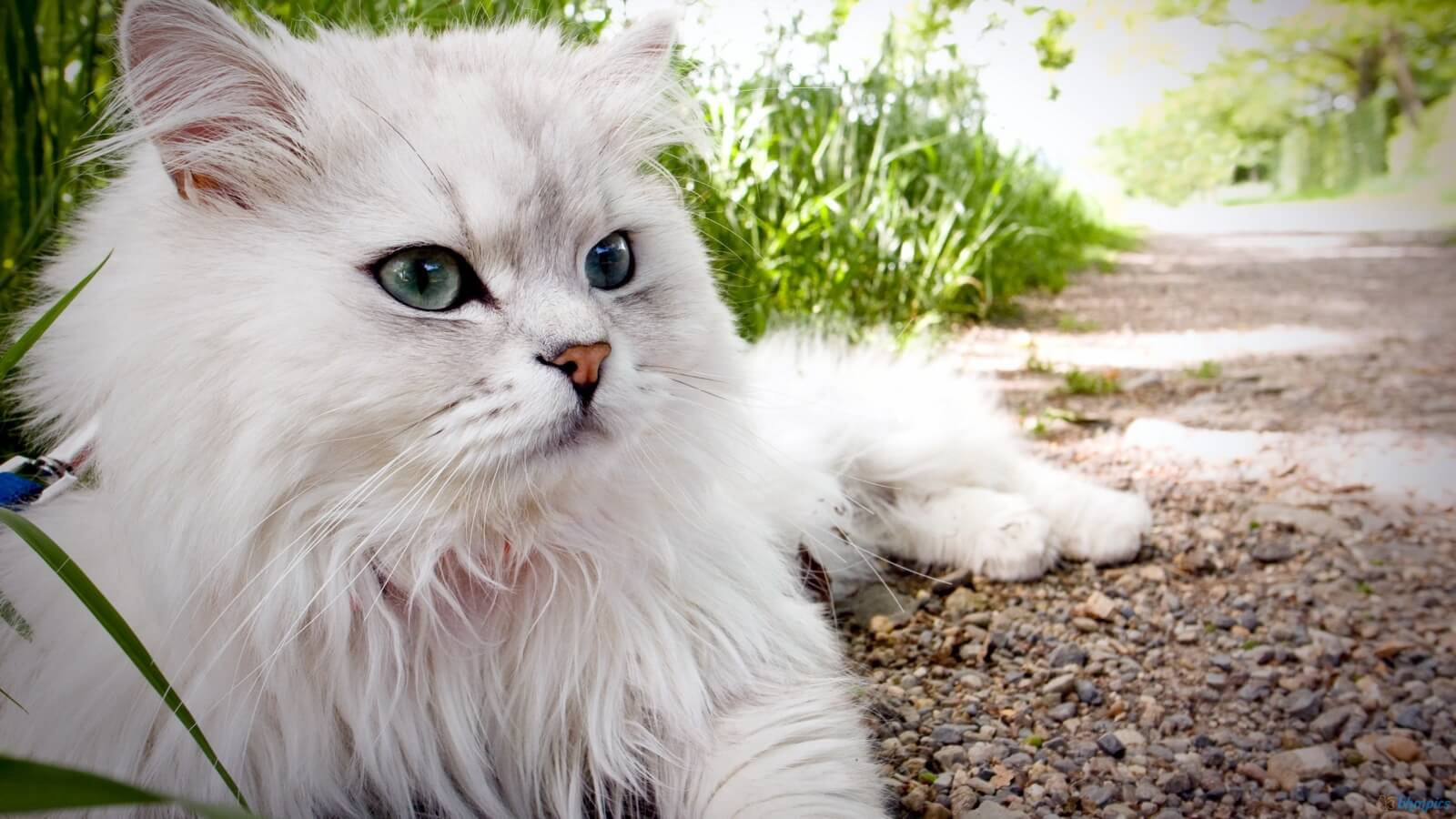 ペルシャ猫の性格、飼い方、価格相場☆上品さ溢れる白いふわふわ、もはや王様級♡