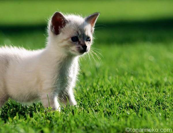シャム子猫