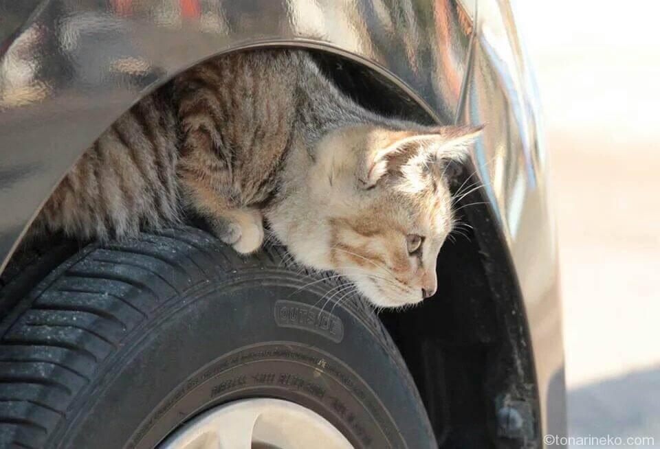 タイヤに猫