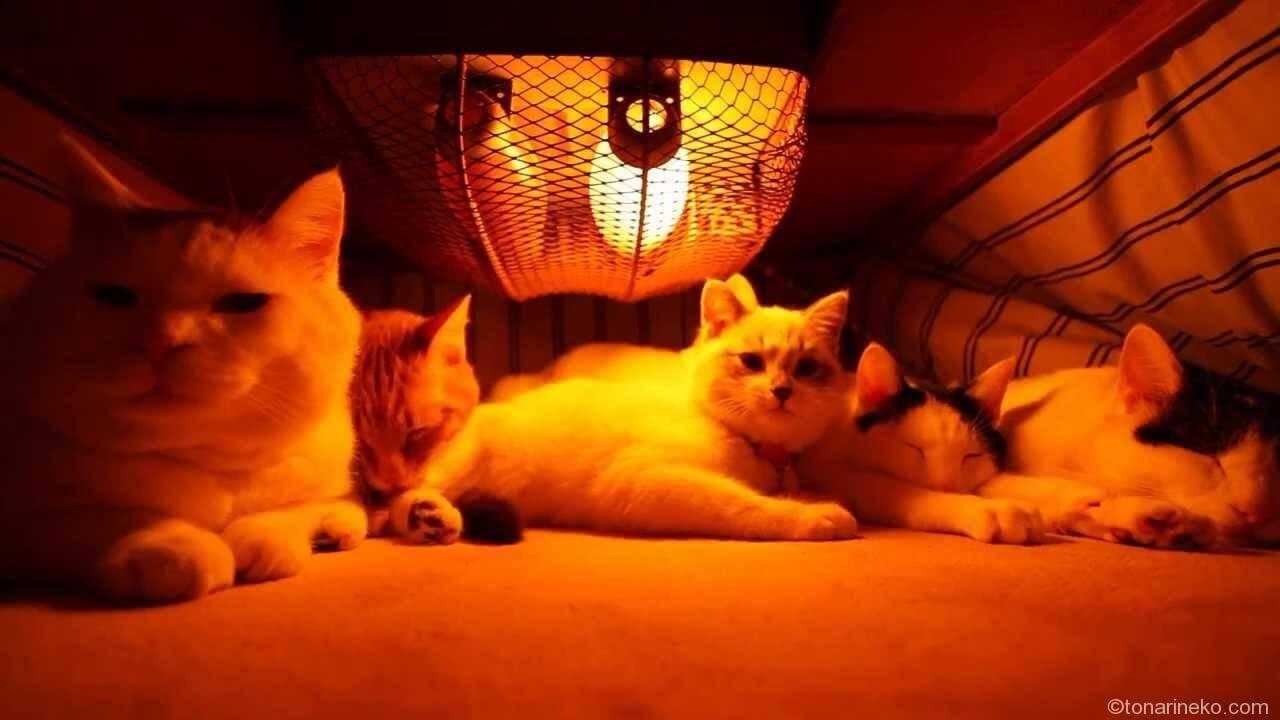 コタツと猫