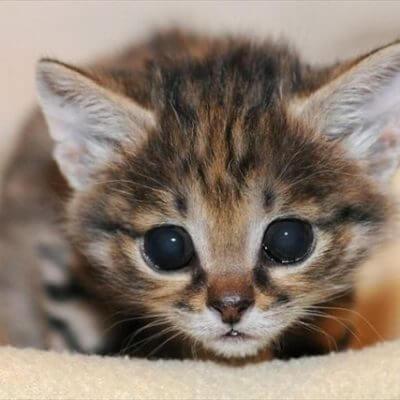 世界最小の猫種もご紹介♡愛らしすぎる小型猫9選☆