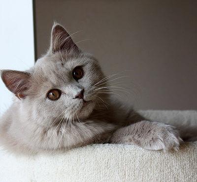 【マンション・アパート暮らしに最適】一人暮らしでも飼いやすいおすすの猫は?