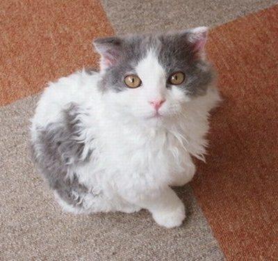 ラムキンの性格、飼い方、価格相場☆マンチカン×セルカークレックスの交配猫