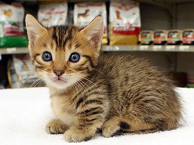 ジェネッタの性格、飼い方、価格相場☆マンチカンをベースにしたワイルド短足猫