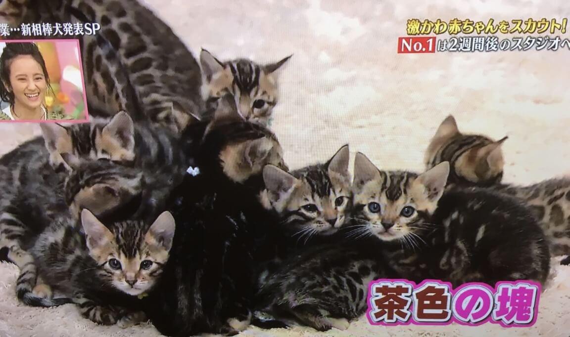 ベンガルの子猫
