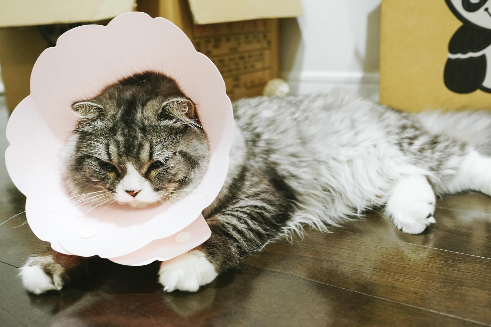 エリザベスカーラー猫