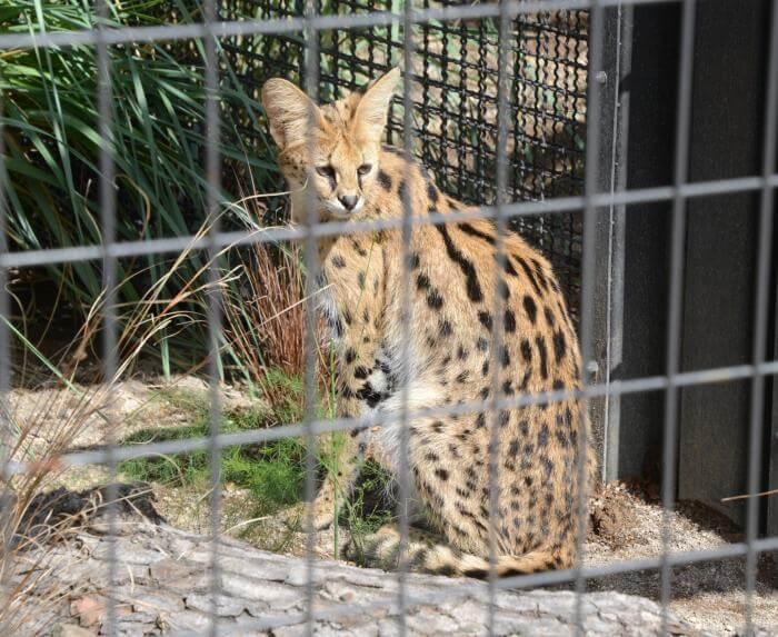 円山動物園のサーバル