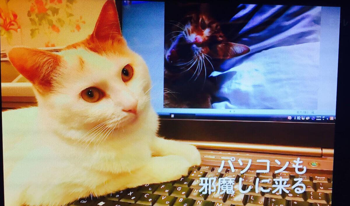パソコンを邪魔しにくる猫