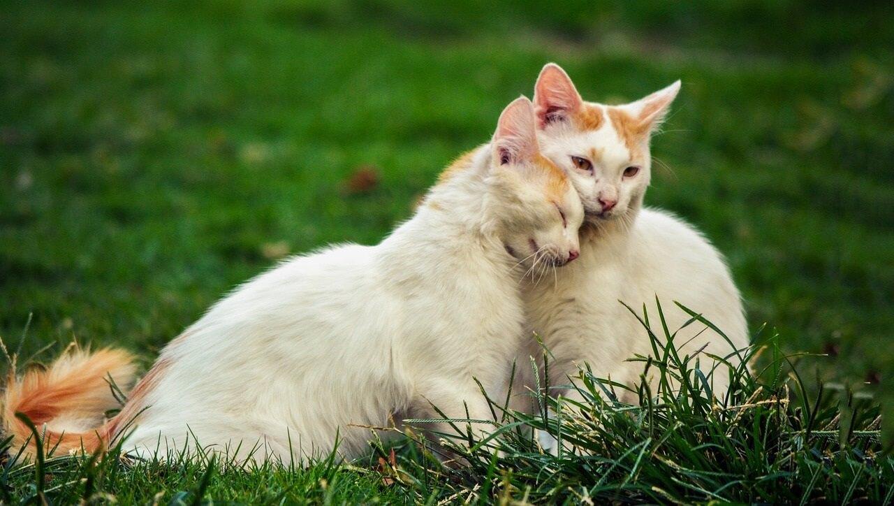 猫がいきなり頭を足や体にぶつけてきたりこすりつけてきたりすることがあります。 これは「頭突き」といわれ猫が様々な意思表示をしていると言われています。