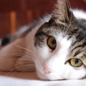 動物病院の猫は看板猫以外の役目も!?輸血で命を救う「供血猫」について調べてみた!